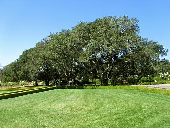 Intimate Wine Tours: Beautiful oak trees at Ledson Winery.