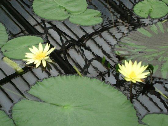 Royal Botanic Gardens, Kew: Kew Gardens Waterlily