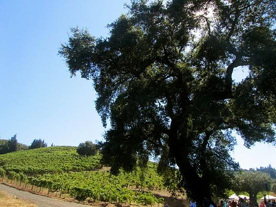 Intimate Wine Tours: Majestic oak tree at Bella Vineyards and Wine caves in the Dry Creek Valley