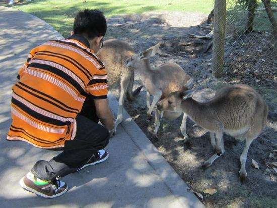 Caversham Wildlife Park: Friendly kangaroos