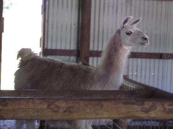 Caversham Wildlife Park: Llama