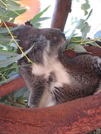 Caversham Wildlife Park: Sleeping koala