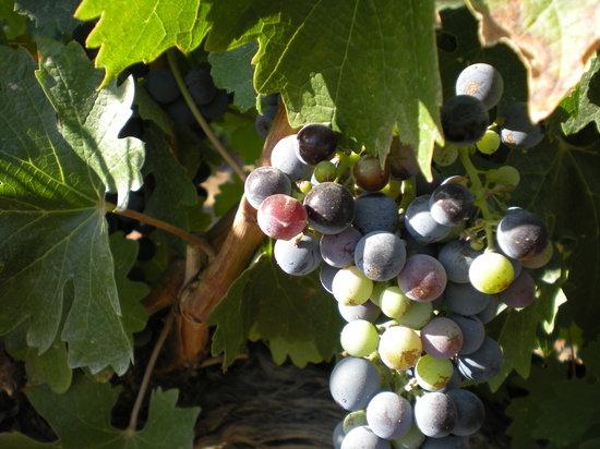 Robert Renzoni Winery: grapes