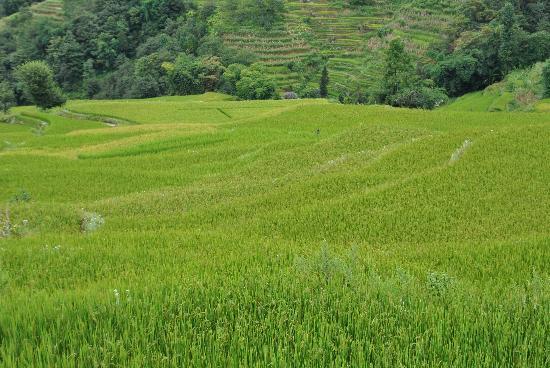 Yuanyang Pengtian: Yuanyang rice terraces