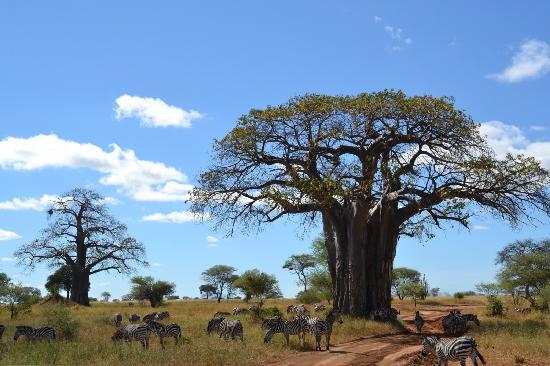 Maramboi Tented Camp: baobab et zèbres
