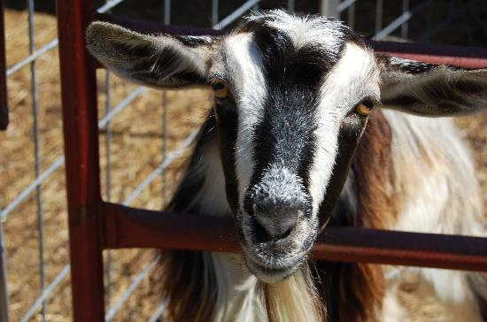 North Georgia Zoo: eager goat awaits a handout