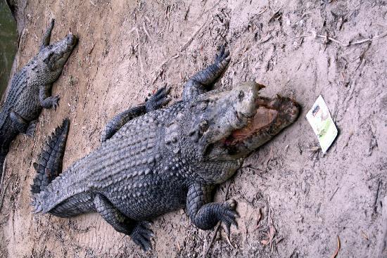 Hartley's Crocodile Adventures: Friendly aligator!