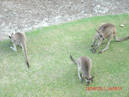 รีสอร์ทโนโวเทลทวินวอเตอร์ส: Kangaroos at front of apartment
