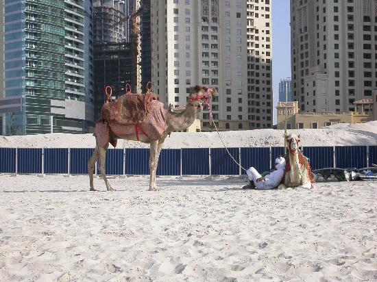 โซฟิเทล ดูไบ จูเมราห์บีช: camels