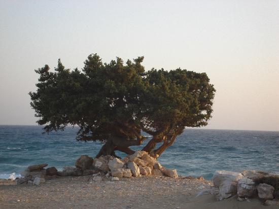 Psili Ammos Studios: CEDAR TREE IN PYRGAKI BEACH