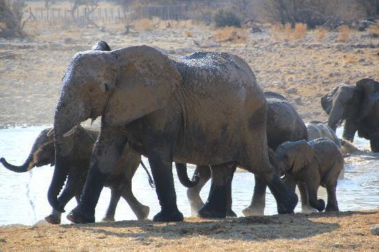 Okaukuejo Rest Camp: Elefantes en Waterhole