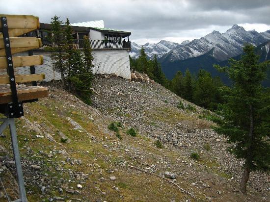 Banff Gondola: 自然の鹿が現れることも