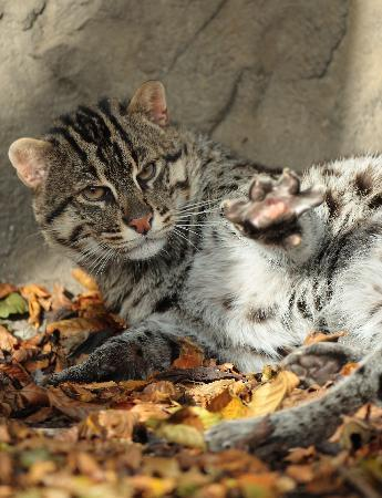Exmoor Zoo: Frodo our male fishing cat