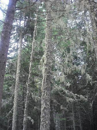 Port Wing, WI: Moss covered trees in Boreal Forest