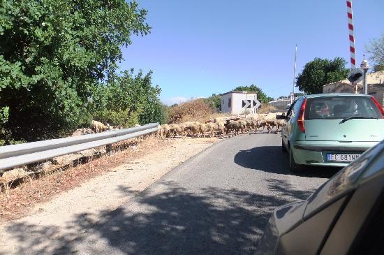 Villa U Marchisi B&B: Sheep Crossing.