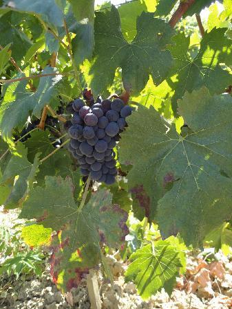 Agriturismo Casa Fabbrini: Druiven