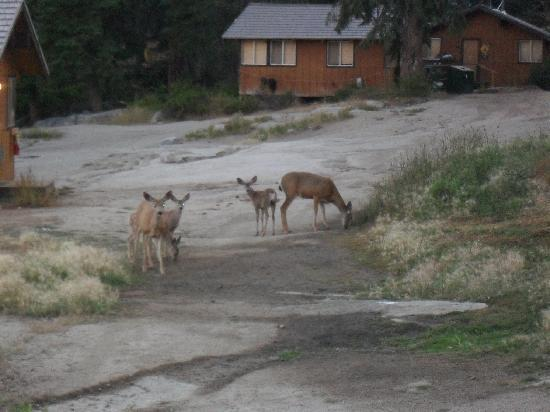 Montecito Sequoia Lodge & Summer Family Camp: Deer by the pool