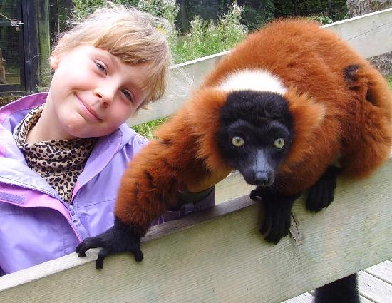 Linton, UK: Ruby, Red-Ruffed Lemur