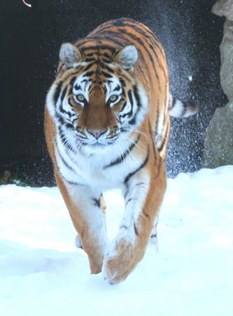 Linton, UK : Katinka, Amur Tigress