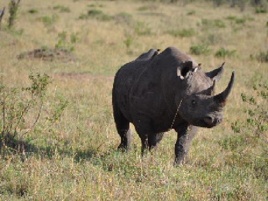 Olare Orok Conservancy: Rhinocéros noir