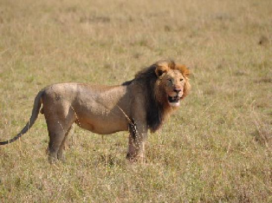 Olare Orok Conservancy: lion solitaire