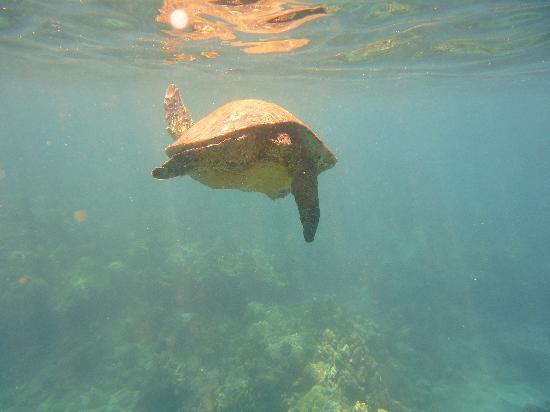 Quicksilver Maui Snorkeling Charters: Turtles!