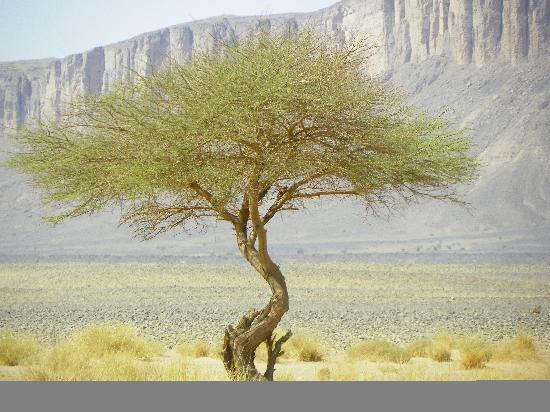Sahara Exploring Expedition Day Tours: albero nel deserto