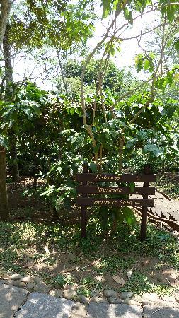 MesaStila Resort and Spa: piantagione di caffè