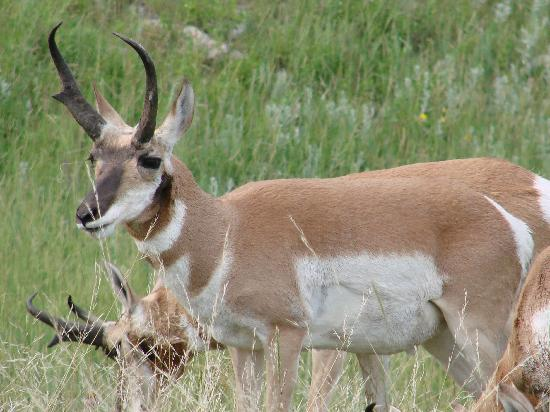 Custer State Park: Wildlife