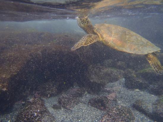 Kona Coast Resort: Lots of turtles at the beach near the resort.