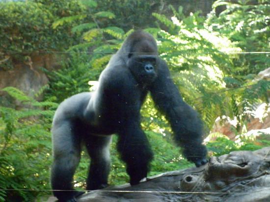 Loro Parque: gorilla posing