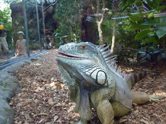 Loro Parque: iguana