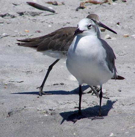 เกาะซานิเบล, ฟลอริด้า: sandpipers