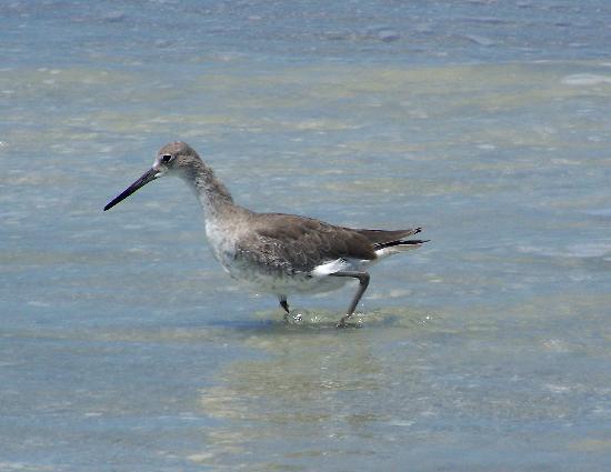 เกาะซานิเบล, ฟลอริด้า: bird fishing