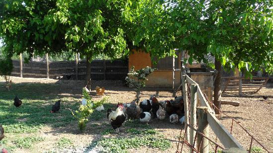 El Moli de Siurana: resident hens with rooster