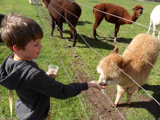 Hatcher's Manor: Lamas at Zoodoo