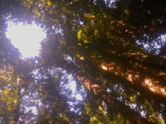 Henry Cowell Redwoods State Park: Catehdral Redwoods