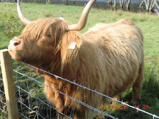 The Hairy Coo - Free Scottish Highlands Tour: Fiona my name sake.