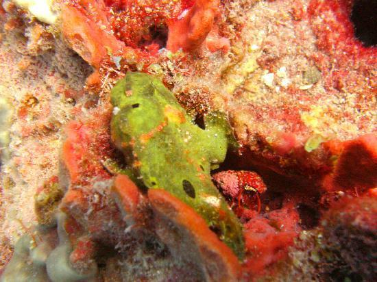 Saba Deep Dive Center: frog fish