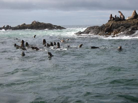 Majestic Ocean Kayaking: The seals gathered behind the boat for a photo op