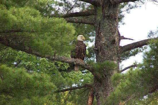Halfway Lake Cottages: Bald Eagle. Taken while boating on the lake.