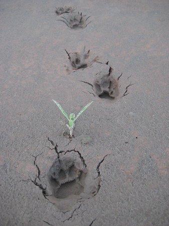 Jaguar track at Madidi Jungle Ecolodge & Madidi National Park