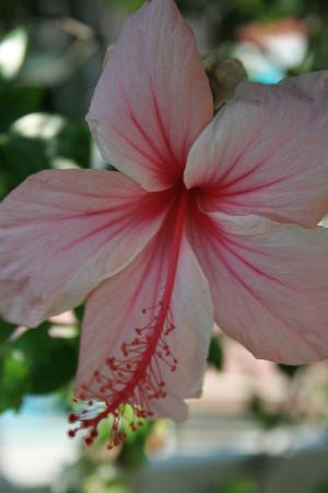 Tortuga Beach Resort: hibiscus. the plants are spectacular