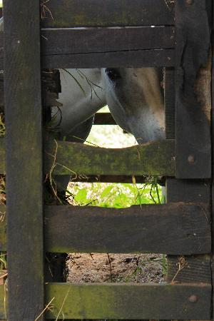Chachagua Rainforest Eco Lodge: Horse at the farm