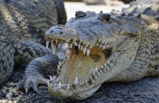 Desire Riviera Maya Resort: Кормежка крокодилов