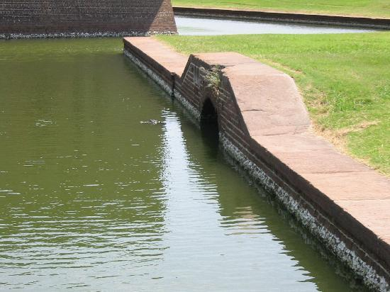 Fort Pulaski National Monument: Alligator waiting in the water