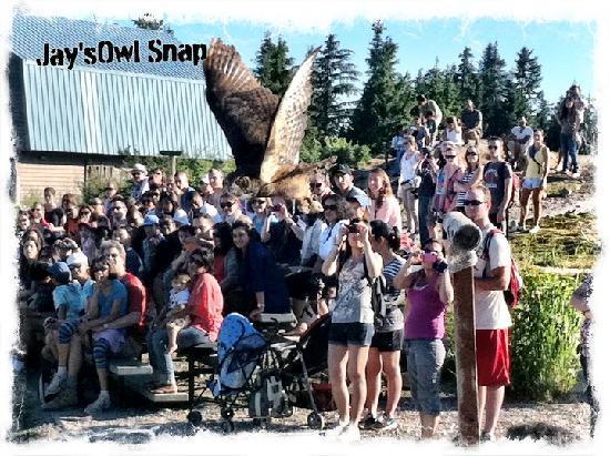 Grouse Mountain Skyride: Jay captures a mid flight Owl at the Grouse Mtn Raptor Show