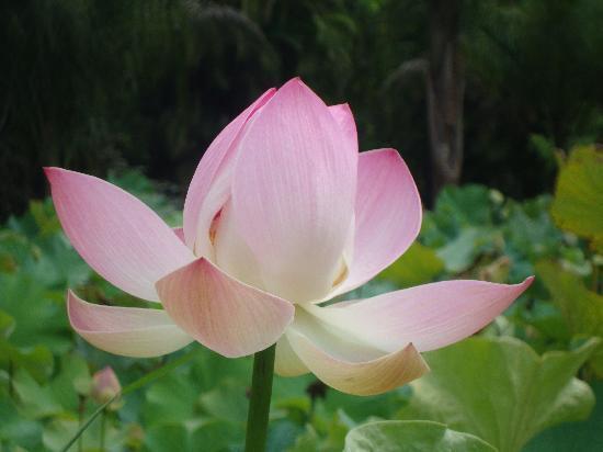 SSR Botanic Garden: Pamplemousses4