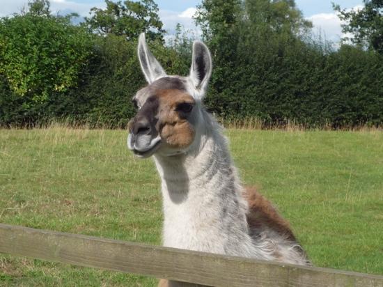 Sandstone Trail: A friendly llama!
