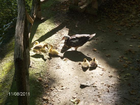 Vermion Hotel: Mama Duck and baby ducks in the park